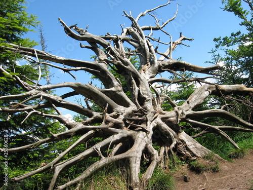 Entwurzelter Baum im Schwarzwald Canvas Print