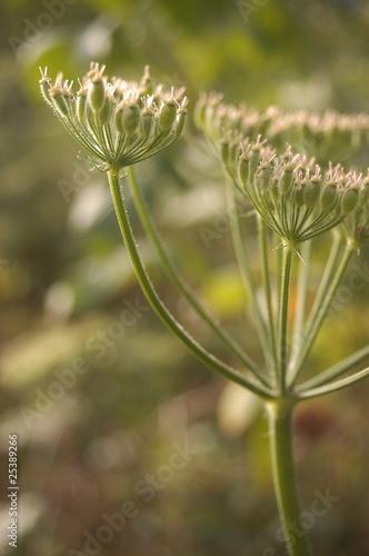 Fotografie, Obraz  Fleur des prés