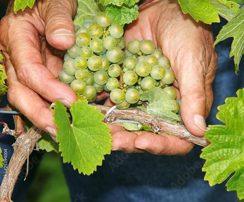 Valokuvatapetti Weintrauben - Vine Grapes