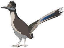 Great Roadrunner Bird