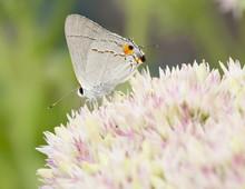 Beautiful Gray Hairstreak Butterfly On Sedum Flower Blooms
