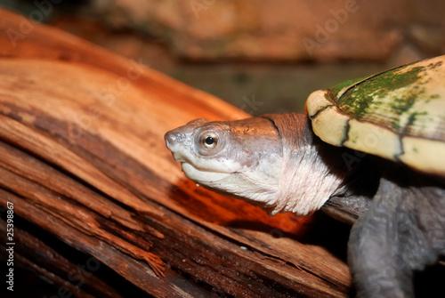 Poster Peche freshwater turtle