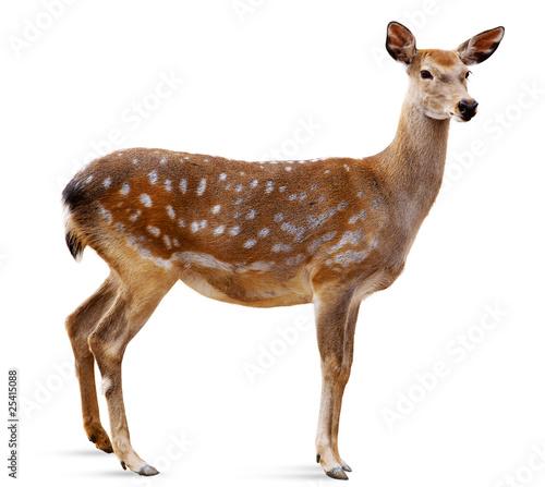 Poster Deer Sika Deer, Cervus nippon