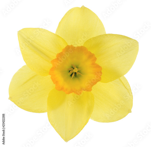 Cadres-photo bureau Narcisse daffodil