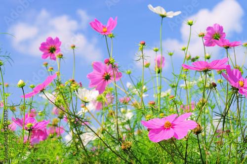 Garden Poster Spring Cosmea 04