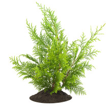 Young Sapling, Sprout A Thuja