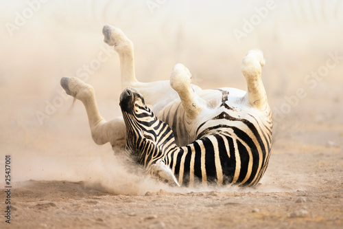 Canvas Prints Zebra Zebra rolling