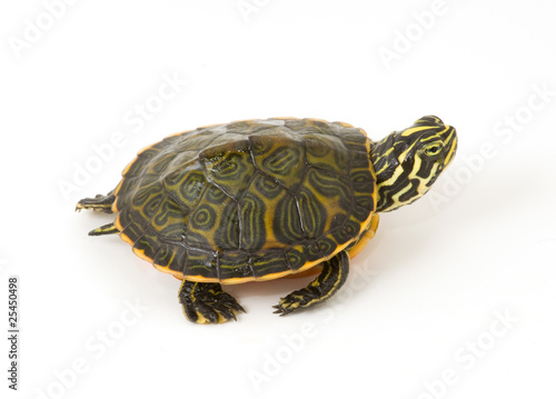 Fotografie, Obraz  Baby Turtle isolated against a white background