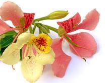 Fleurs De Bauhinia, L'arbre Orchidée