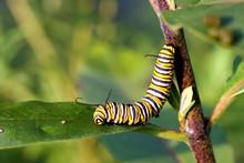 Monarch Butterfly Caterpillar ...