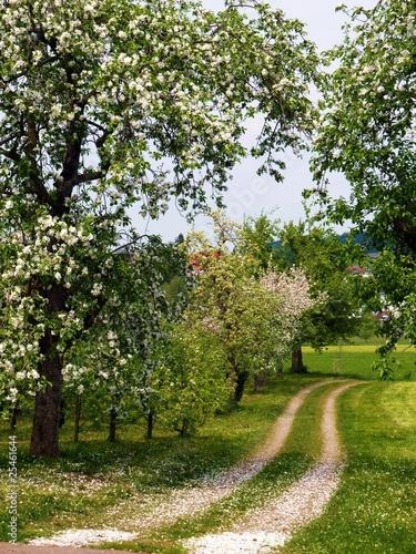 Fototapeta Kwiat drzewa owocowe - Bodenseeregion