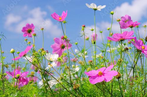 Garden Poster Spring Cosmea 10