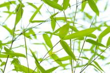 Green Bamboo Leaves (Bambuseae)