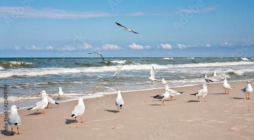 Seagulls at the Baltic sea. - 25494044