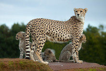 A Cheetah Mother With Cubs