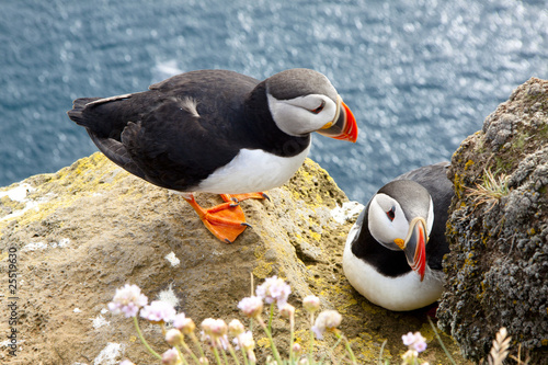 Fotografia Puffins on the rock - Latrabjarg, Iceland