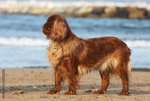 Photo  king charles spaniel de profil devant la mer