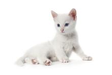 Alert White Kitten With Blue Eyes