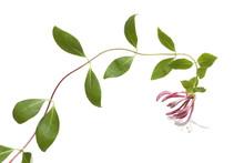 Fresh Flowering Pink Honeysuckle
