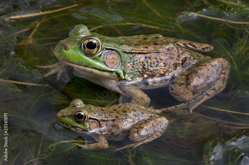 Photo sur Toile Grenouille Two bull frogs