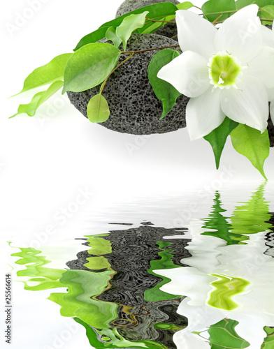 Fleur Blanche Du Lys De La Vierge Et Ficus Sur Galets Buy This