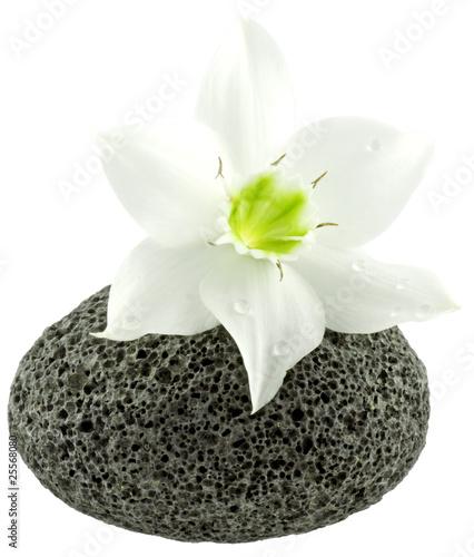 Fleur Blanche Du Lys De La Vierge Sur Galet Basalte Alveole Buy