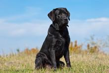 Black Labrador Retriever In Gr...