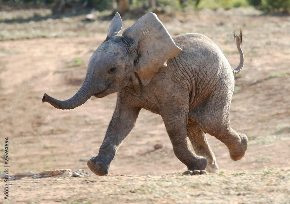 Fototapety, obrazy: Młode słoniątko w biegu