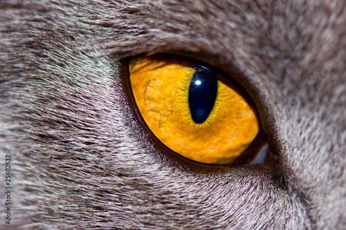 Ingelijste posters Puma regard de felin