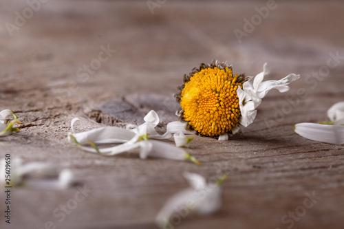 Valokuva  Verwelktes Gänseblümchen