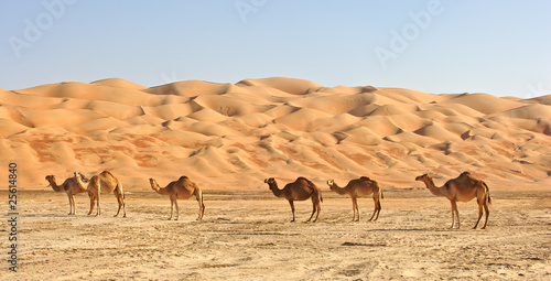Photo sur Aluminium Chameau Empty Quarter Camels