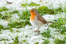 Christmas Winter Robin With Snow And Green Grass