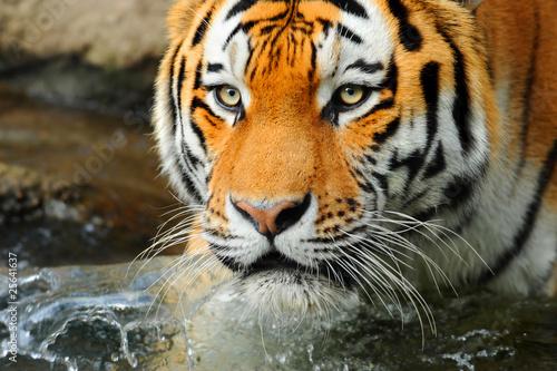 Foto auf AluDibond Tiger Zoo 118.2