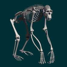Chimpanzee Skeleton