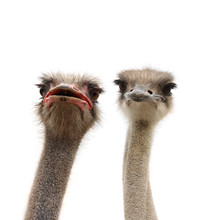 Two Ostriches Heads