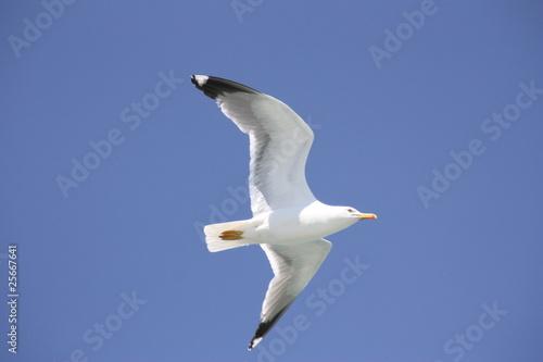 Fototapeta Albatros im Flug