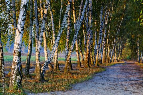 Foto op Plexiglas Berkbosje autumn scene