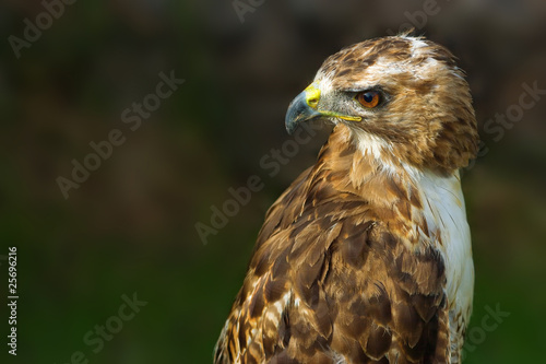 Photo  bird of prey