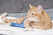 canvas print picture - Ginger cat with broken leg