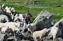 Sheperd Leading His Sheep Through A Mountain Stream