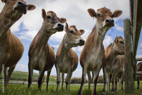 Fényképezés  Cows