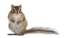 Siberian Chipmunk, Euamias Sibiricus, Standing