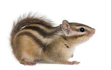 Siberian Chipmunk, Euamias Sibiricus