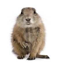 Black-tailed Prairie Dog, Cynomys Ludovicianus, Sitting