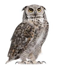 Great Horned Owl, Bubo Virgini...
