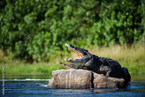 Poster Crocodile Nile crocodile.