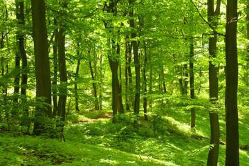 Fototapeta Krajobraz Grüner Sommerwald