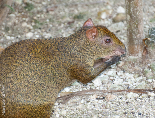 mexican rodent agouti paca on dirt Canvas Print