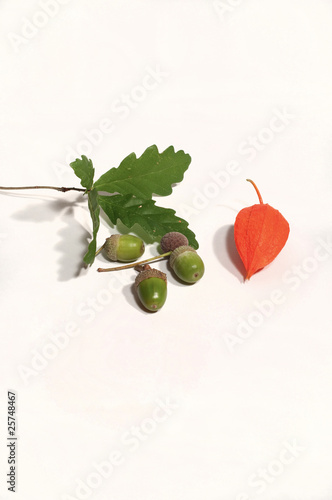 Fleur De Physalis Et Glands De Chene Vert Buy This Stock Photo And