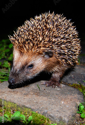 Fotografiet  Igel hedgehog urchin